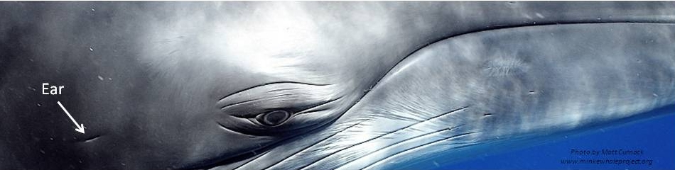 Eye and ear of a dwarf minke whale.