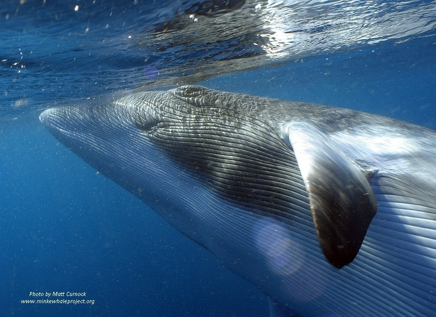 Whale rolling and displaying throat grooves.